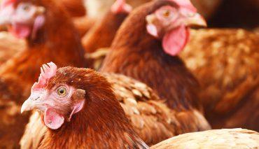 A importância dos geradores na avicultura e pecuária